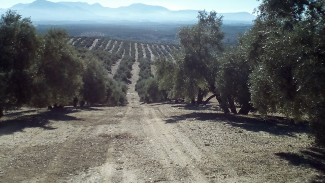 Overal olijfbomen.